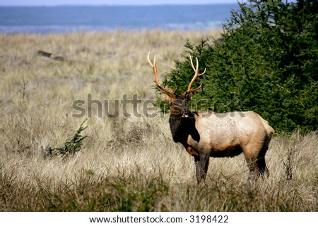 Roosevelt elk in Redwoods national park, California - stock photo