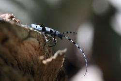 Rosalia longicorn (Rosalia alpina) or Alpine longhorn beetle Swabian Jura Germany