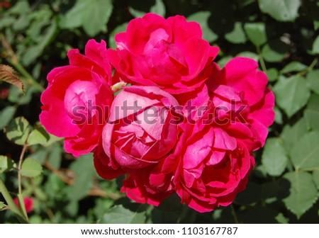 rose season began #1103167787