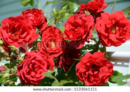 Roses, a symbol of love. Valentine's Day. Flowerbed of roses. Natural background. Still life of flowers