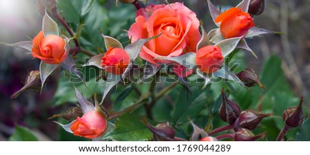 Roses in tropical garden. Colourful roses flower. Roses flower pattern. Roses flower bouquet. Garden rose. Red rose.