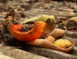 rotten and withered fruit for insects