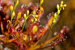 Round-leaved sundew (Drosera rotundifolia), carnivorous insect-eating plant, flora concrpto, selective focus