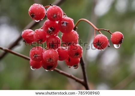 Rowan berries in the rain in the late autumn. #785908960