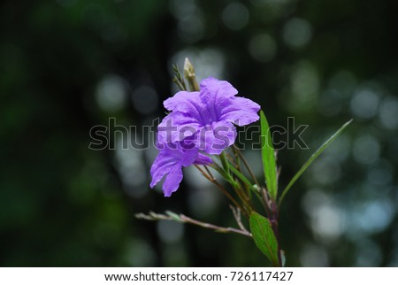 Ruellia tuberosa.Leafy green shrub, long, slender, smooth, smooth, smooth, smooth, purple, pink, white, brown, black Within the seeds are sun-like seeds with seeds.