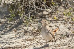 rufous-tailed scrub robin bird on the ground