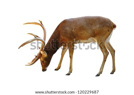 Rusa deer on a white background.