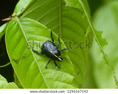 Rutela lineola,  Scarabaeidae family. Location: Presidente Figueiredo, Amazon – Brazil