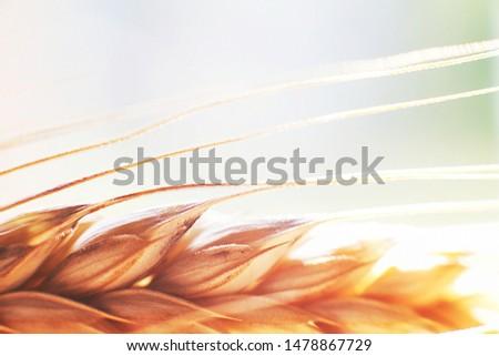 rye  spike closeup.  rye spike background.  rye  ear macro #1478867729