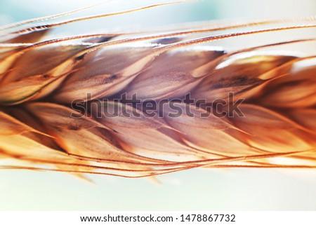 rye  spike closeup.  rye spike background.  rye  ear macro #1478867732