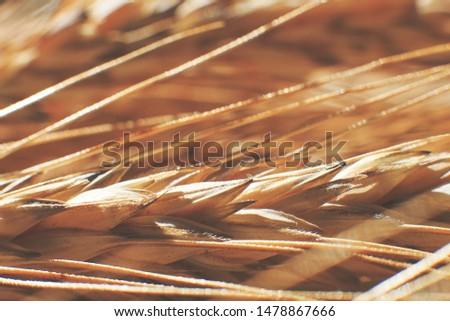 rye  spike closeup.  rye spike background.  rye  ears macro #1478867666