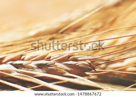 rye  spike closeup.  rye spike background.  rye  ears macro #1478867672