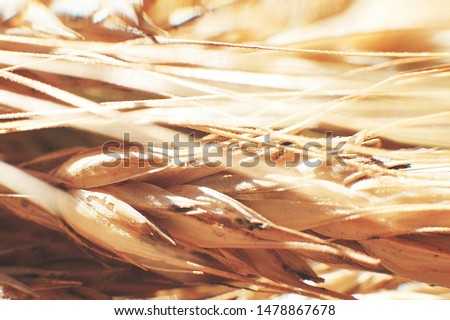 rye  spike closeup.  rye spike background.  rye  ears macro #1478867678