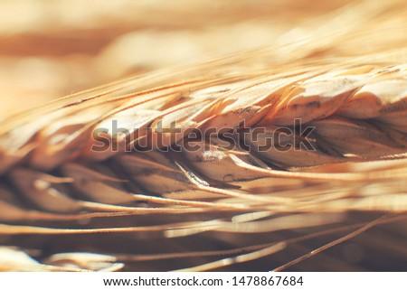 rye  spike closeup.  rye spike background.  rye  ears macro #1478867684