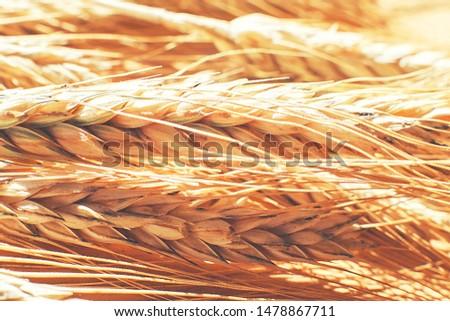 rye  spike closeup.  rye spike background.  rye  ears macro #1478867711