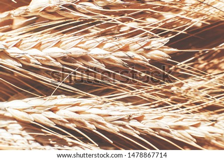 rye  spike closeup.  rye spike background.  rye  ears macro #1478867714