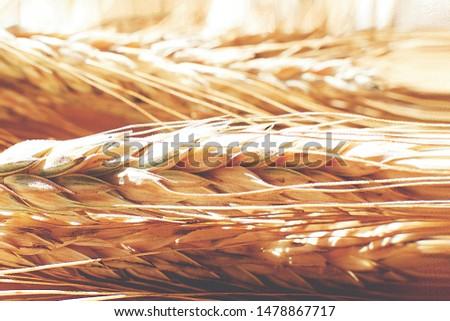 rye  spike closeup.  rye spike background.  rye  ears macro #1478867717