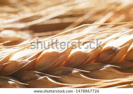 rye  spike closeup.  rye spike background.  rye  ears macro #1478867726