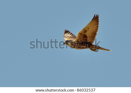 saker falcon flying (Falco cherrug)