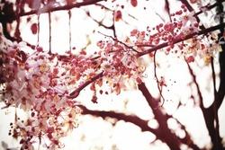 Sakura thailand,flowerthai,Art,park,Beautifulflowers,nature in thailand,pink flower