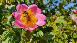Same little pink rose in the garden. A little bee on the rose.