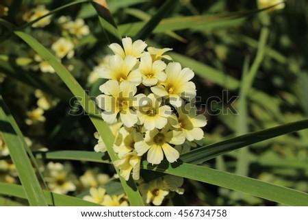 Free pale yellow flower plant 136668 stock photo avopix satin flower flowers or pale yellow eyed grass pigroot mightylinksfo