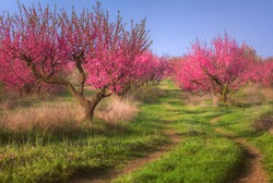 Scenic flowering peach garden in early spring. Smooth rows of flowering peach trees, winding road