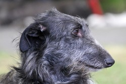 Scottish Deerhound, a head study