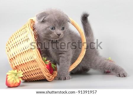 Scottish fold British  cat, kitten