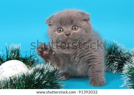 Scottish fold British cat, kitten background christmas
