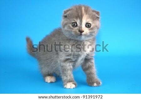 Scottish fold British  cat, kitten isolated