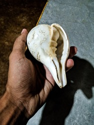 sea white conch shell in hand