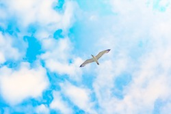seagull in the sky. blue sky . White clouds . seagull from below.