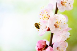 (Selective focus) Close-up view of of a bee collecting nectar from some pistils of cherry blossoms during the flowering season. Natural background with copy space, Kyoto, Japan