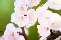 (Selective focus, focus on the pistils) Close-up view of some pistils of cherry blossoms during the flowering season. Natural background with copy space, Kyoto, Japan
