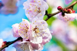 (Selective focus, focus on the pistils) Close-up view of some pistils of cherry blossoms during the flowering season. Natural background, Kyoto, Japan