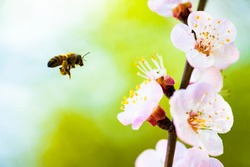 (Selective focus, focus on the pistils) Defocused bee collecting nectar from some pistils of cherry blossoms during the flowering season. Natural background with copy space, Kyoto, Japan