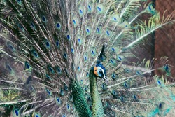 (selective focus) Peacock. Beautiful peacock. Peacock showing its tail