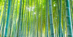 (Selective focus) Stunning view of a defocused bamboo forest during a sunny day. Arashiyama Bamboo Grove, Kyoto, Japan. Natural, green background with copy space.