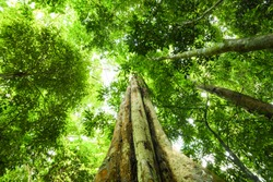 (Selective focus) Stunning view of some tropical trees with beautiful green crowns inside the tropical rainforest of the Taman Negara National Park. Kuala Tahan, Pahang State, Malaysia.