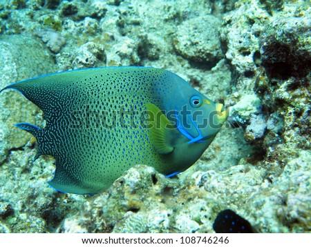 semicircle angelfish - Pomacanthus semicirculatus (Cuvier, 1831)