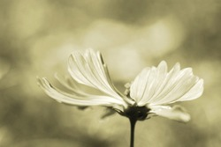 sepia flower ,Sepia photo of beautiful fresh gentle daisy flowers