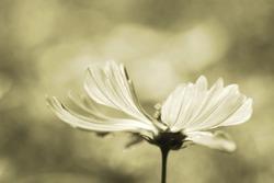sepia flower ,Sepia photo of beautiful fresh gentle daisy flowers