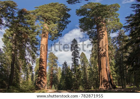 \nSequoia National Park\nSequoia Trees\nSequoias\nAmerican Nature