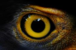 Serpent-Eagle close-up face.(Spilornis cheela)