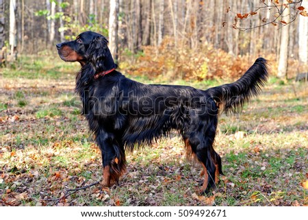 Setter Gordon in autumn forest
