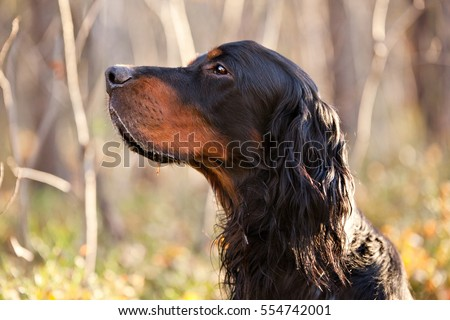Setter Gordon portrait in nature