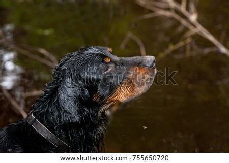 Setter Gordon portrait on the dark background of water