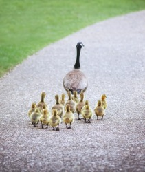 (SHALLOW DOF on babies) a cute family of geese walking on a pebble stone path in a local wildlife park with a grass as a leading edge