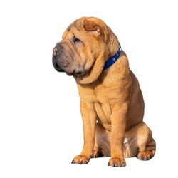 Shar Pei puppy isolated on white background.